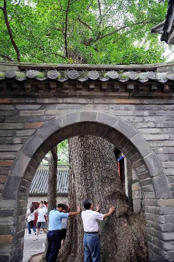 图文-奥帆赛掀起崂山旅游热 感受千年银杏树的魅力