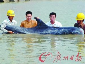 2004年在珠江口海域发现的灰海豚。