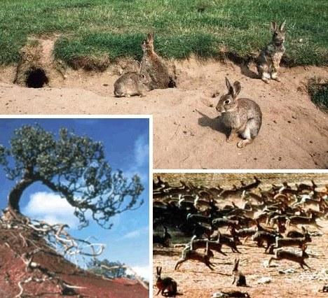 十大臭名昭著入侵物种:澳大利亚野兔