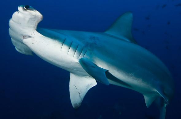 地球上的锤头鲨