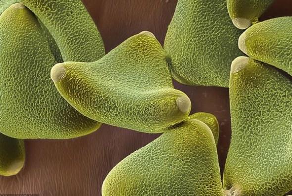 银叶树花粉有一层粘性膜,使之得以附在动物身体上
