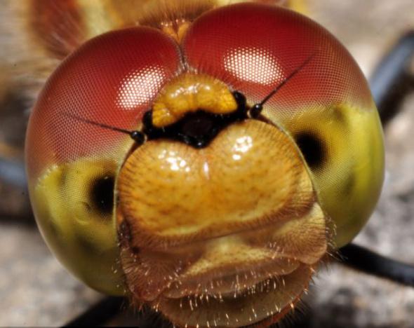 8月1在在诺丁汉阿滕伯勒自然保护区拍到的一只蜻蜓。