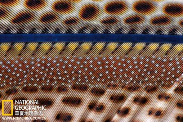 将10厘米长的一段羽毛放大,其中可见数百个宝石般的花纹
