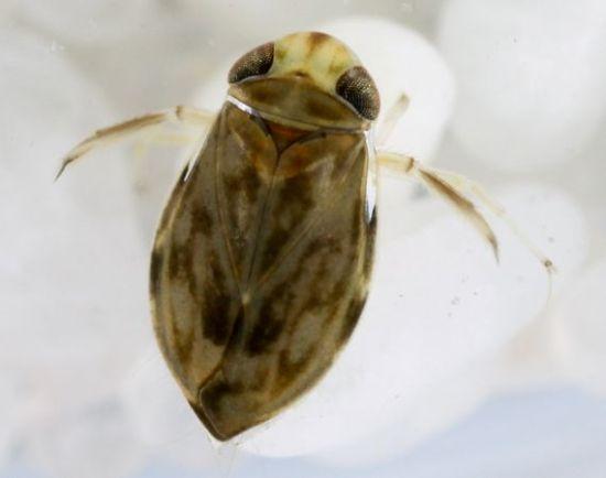 2毫米划蝽