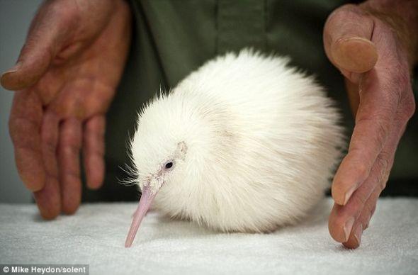 这只罕见的白色几维鸟破壳而出时,野生动物中心的管理人员都大吃了一惊