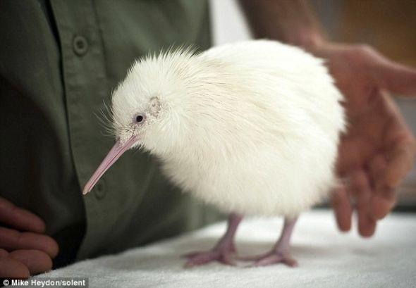 这只不会飞的雏鸟将由人工抚养长大