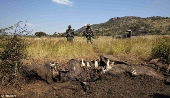 上升趋势:在非洲新富裕阶级日益增长购买力的驱使下,大象和犀牛的非法捕猎呈现上升趋势。