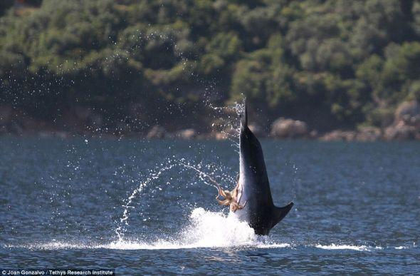 观察者说,这只海豚从空中下落进入水中时好像并不痛苦。