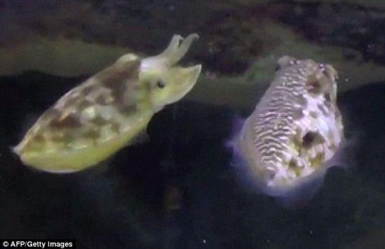 人格分裂:这只雄性墨鱼的右侧表现出雄性墨鱼的条纹状,而在左侧则表现出雌性墨鱼的色彩。