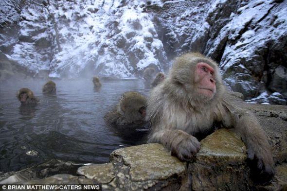 在远东地区拍摄到的雪猴,与虚构的动物雪人惊人相似