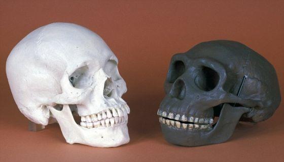 左为现代人(智人)头骨,右为北京猿人(直立人)头骨