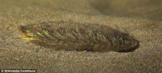 海毛虫常被看到隐藏在6600英尺(2011.68米)深的海床上的泥沙里