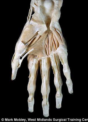 达芬奇创作的手部解剖素描与现代医学扫描技术获取的手部解剖结构图像,前者拥有怎样的准确性我们一看便知