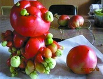番茄结成巨大的团,形如肿瘤