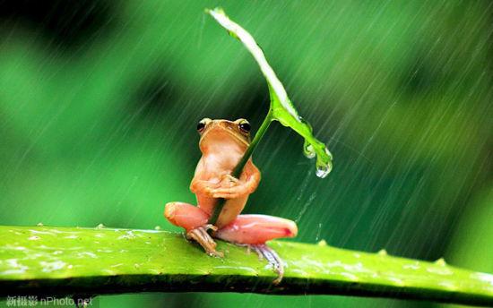 印度尼西亚一只树蛙被拍到在倾盆大雨中抱着一片叶子躲雨,更聪明的是,它懂得根据暴雨方向调整雨伞朝向。近日,印尼摄影师拍到的这组照片在微博上热传(截至昨晚10时,已有超过26万条讨论)。但摄影师从专业角度提出质疑:这些照片是明显的摆拍,而且是在虐待动物的情况下拍出来的。   折腾动物到死   有网友配以动情文字,小树蛙在雨伞的庇护下岿然不动一直持续了30分钟。在没有你的雨里,我等待雨停。网友纷纷赞叹,印尼摄影师的手巧,小树蛙太可爱了。网友福州炒面更是感慨,史上最高智商青蛙,估计是王子变的,