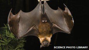 狐蝠是众多携带可传染人病毒的哺乳动物之一