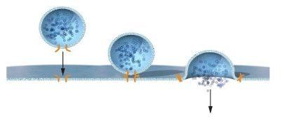 """James E. Rothman发现一种蛋白质化合物(图中橘色表示)可以让囊泡实现与目标细胞膜的融合。囊泡上的蛋白质物质会与目标细胞膜上的特定蛋白质之间发生结合,从而让囊泡可以在正确的位置上释放其所运载的特殊""""分子货物""""。"""