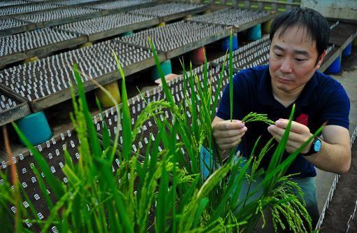 四川快乐12官方网站 日本科学家发现水稻神奇基因:产