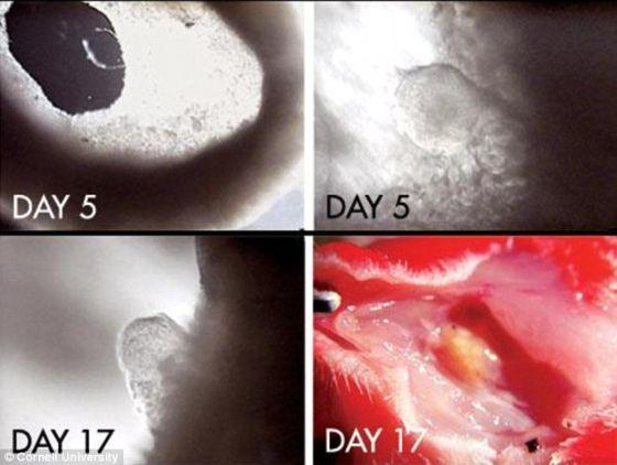 体外发育是指生物体在体外生长,它适用于动物和细菌生长。人造子宫需要一个能为胎儿(通过当前的受精技术产生的)提供营养物质和氧气的人造孕育处。该图显示的是试管受精。除此以外,它还需要通过定制的羊水囊来清除垃圾