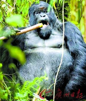 """动物摄影师最近拍摄到生活在中非的银背大猩猩""""喝醉"""""""