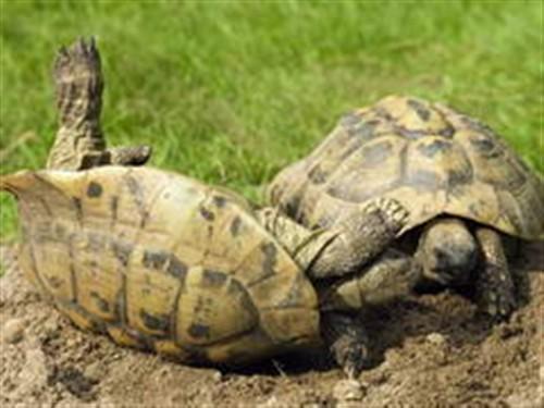 背壳斑点的颜色与乌龟的攻击性在遗传