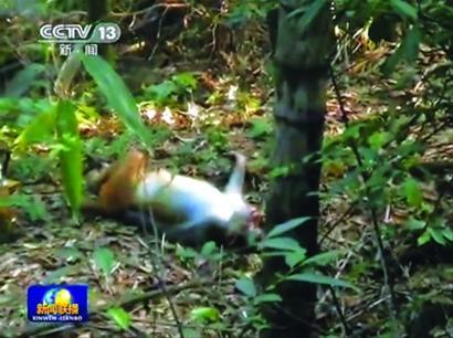 捕杀野生动物黑幕:林场开枪无人管