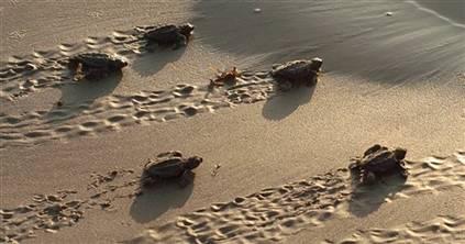 科技时代_全球86%海龟种类濒临灭绝(图)