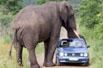 野生大象压瘪汽车