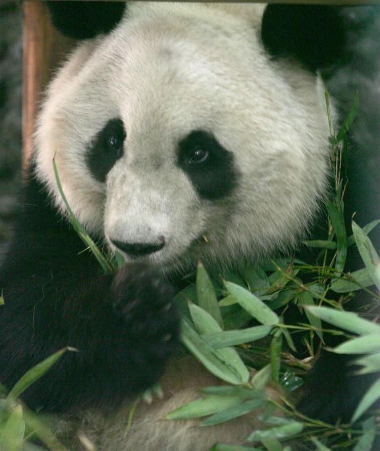 """科技时代_大熊猫美兰成为""""地球一小时""""2010全球大使"""