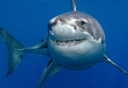 大白鲨水中悠闲游弋