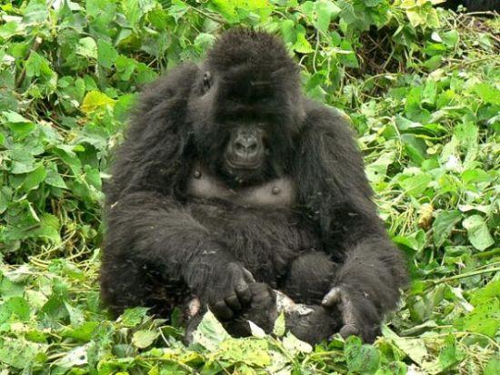 大猩猩哀悼死去幼仔