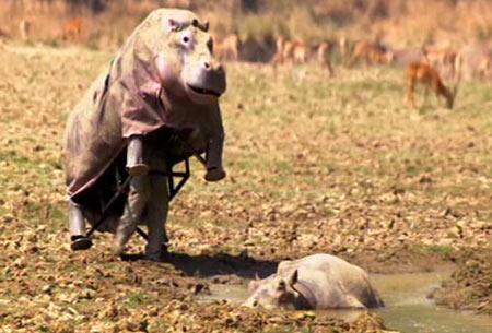 动物学家身披89公斤伪装卧底河马群(组图)