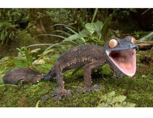 马达加斯加奇妙生物:巨型叶尾壁虎(组图)