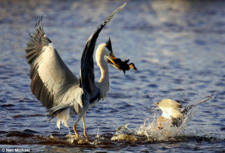 摄影师拍到母鸭保护幼仔与苍鹭搏斗场面(图)