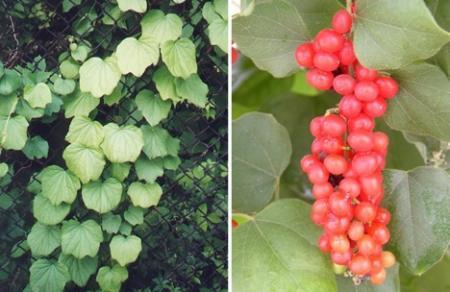 16种剧毒植物揭秘(组图)(3)