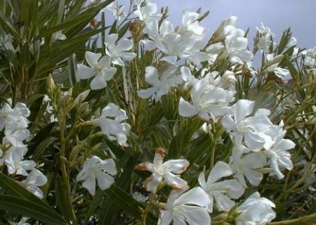 16种剧毒植物揭秘(组图)(4)