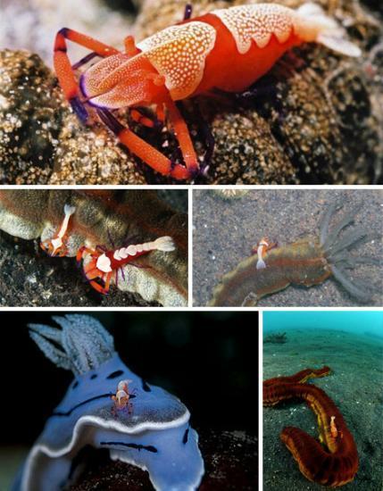 海洋七大共生奇观:小虾为电鳗清洁口腔(图)(2)