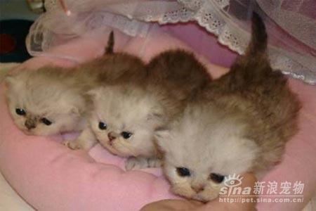 组图:超级可爱的波斯猫(2)