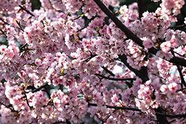 上海:樱花粲然