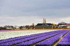 荷兰:花田艳遇