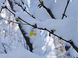 海淀:连翘叶映桃花雪