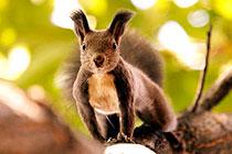树林中觅食的大松鼠