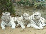 野生动物园憨态可掬的白老虎