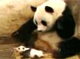 熊猫发飙狂扒游客衣服