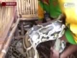 菲律宾动物园推出蟒蛇按摩 游客全身被蛇缠绕