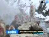 日本雪猴在温泉中洗澡梳理毛发 表情销魂