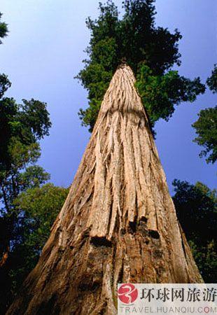 世界上最高的树:加州,红杉