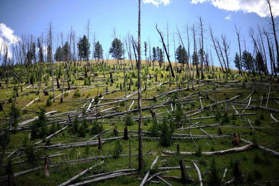 美国黄石国家公园内的景观(8月8日摄)。
