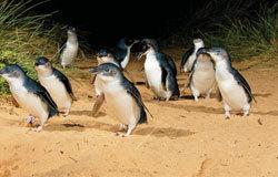 企鹅很敏感,稍有杂声,就会顿足,甚至撤回海中。