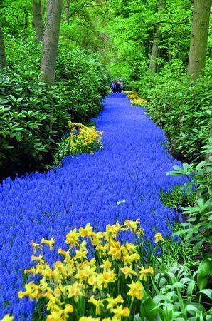 蓝色的风信子小巷仿佛来自仙境